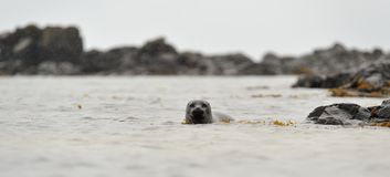 Common seal Royalty Free Stock Photo