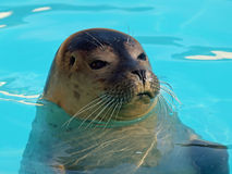 Common Seal (Phoca vitulina) Stock Photos