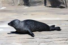 Common Seal (Phoca Vitulina) Stock Photo