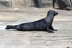 Common Seal (Phoca Vitulina) Royalty Free Stock Image