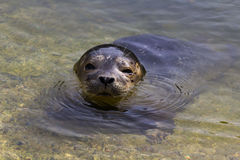 Common seal (Phoca vitulina) Royalty Free Stock Photos
