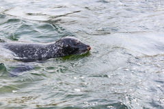 Common seal, Phoca vitulina Stock Photo