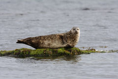 Common seal, Phoca vitulina Royalty Free Stock Photos