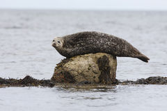 Common seal, Phoca vitulina Stock Images