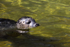 Common Seal, Phoca vitulina, swimming in clear water Royalty Free Stock Photos