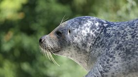 Common seal portrait stock images