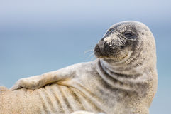 Common Seal Pose. Common seal looking to the left from Helgoland Germany royalty free stock images