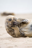 Common Seal Posing. For camera. From Helgoland Germany royalty free stock photos