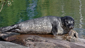 Common seal pup 3. Common seal pup. Also known as harbor seal. Latin name - Phoca vitulina Royalty Free Stock Images