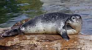 Common seal pup 5. Common seal pup. Also known as harbor seal. Latin name - Phoca vitulina Royalty Free Stock Photo