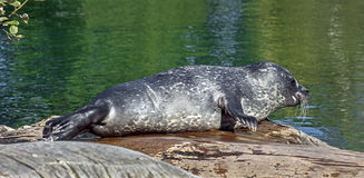 Common seal pup 6. Common seal pup. Also known as harbor seal. Latin name - Phoca vitulina Stock Photos