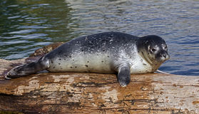 Common seal pup 8. Common seal pup. Also known as harbor seal. Latin name - Phoca vitulina Royalty Free Stock Photo
