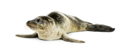 Common seal pup, isolated Stock Photography