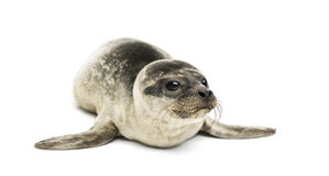 Common seal pup, isolated stock image