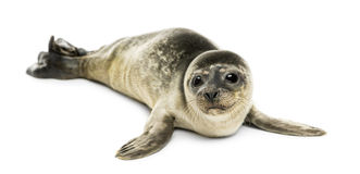 Common seal pup, isolated Stock Photo