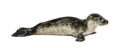 Common seal pup, isolated Royalty Free Stock Image