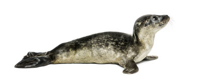 Common seal pup, isolated royalty free stock photography