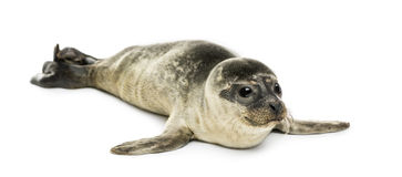 Common seal pup, isolated Royalty Free Stock Images