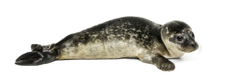Common seal pup, isolated Stock Photos