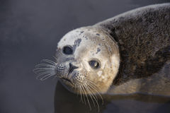 Common Seal Pup Portrait Stock Photo