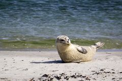 Common seal resting at the beach - Phoca vitulina. Harbor / harbour seal - Phoca vitulina - also known as the common seal at the sandy beach of Düne belonging Stock Image