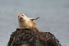 Common Seal resting on a rock Royalty Free Stock Photography