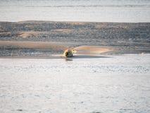 Common seal resting on sand flat near Terschelling, Waddensea, N stock photo