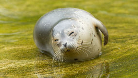 Common seal resting in the water Stock Photo