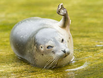 Common seal resting in the water Stock Photography
