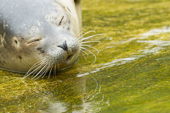 Common seal resting in the water Stock Images