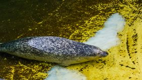 Common seal swimming toward the coast, semi aquatic animal from the coast of the atlantic and pacific ocean royalty free stock images