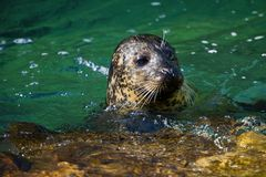 Common seal is swimming in the water Stock Images