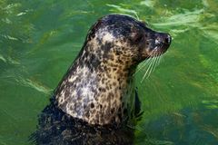 Common seal is swimming Stock Images