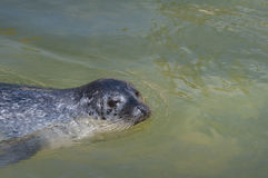 Common seal. In the water with space to right Royalty Free Stock Photo