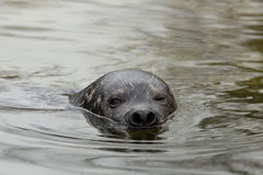 Common seal in water Royalty Free Stock Photo