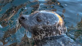 Free Common Seal With A Shy Look Royalty Free Stock Image - 172286026