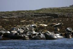 Common seals Stock Photos