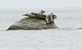 Common seals Stock Photography