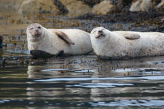 Common Seals Stock Photo