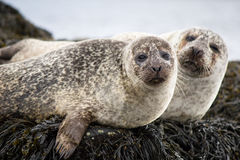 Common Seals Stock Photos
