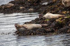 Harbour seals on island near Oban in Scotland royalty free stock images