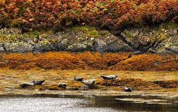 Common seals, (Phoca vitulina) Scotland Royalty Free Stock Photo