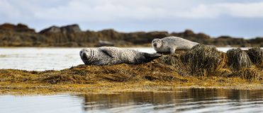 Common seals resting. On the shore Stock Photography