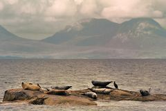Common seals, Scotland (Phoca vitulina) Stock Photo