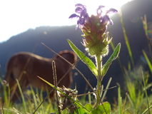Common self-heal. In the photo is an flowering plant, common self-heal. In the background there is a dog, rhodesian ridgeback and the mountains. Photo was made royalty free stock photography