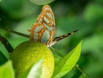 Common Sergeant Butterfly Royalty Free Stock Images