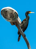 Common Shag Cormorant on public lighting service pole Stock Image