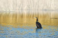 Common Shag (Phalacrocorax aristotelis) Royalty Free Stock Photos