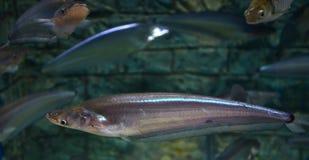 Common sheatfish Royalty Free Stock Photo