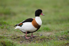 Common shelduck Royalty Free Stock Photo